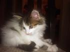 Фото в Отдам даром - Приму в дар Отдам даром Отдам котика. возраст - 1 год, черный, пушистый, в Красноярске 0