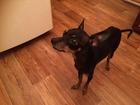 Фотография в  Отдам даром - приму в дар в районе остановки Юбилейная найдена собака в Красноярске 0