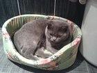 Изображение в Кошки и котята Вязка Ищем кошечку для первой вязки.   Чистокровный в Красноярске 0