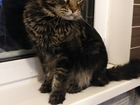 Фото в Кошки и котята Вязка Кот Мейн-Кун, привит, с документами. Хотим в Красноярске 0