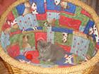 Изображение в Кошки и котята Продажа кошек и котят Очаровательные британчики голубого окраса в Красноярске 10000