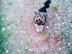 Фотография в Собаки и щенки Вязка собак Молодой, девственный кобель 1, 5 лет Сантиак в Красноярске 3000