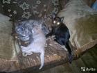 Изображение в Кошки и котята Продажа кошек и котят Два очень замуррррррррррчательных создания в Красноярске 0
