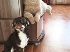 Свежее фотографию Вязка собак Вязка чихуахуа (Очень красивый и опытный парень!) 37874491 в Красноярске