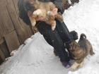 Фотография в Собаки и щенки Продажа собак, щенков Щенки КАВКАЗСКОЙ ОВЧАРКИ- девчонки от БИЗОН в Красноярске 12000