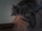 Фотография в   Кот ищет кошечку в Красноярске 1000