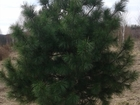 Просмотреть foto Растения Саженцы Кедра 38550445 в Красноярске