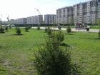 Свежее фотографию Растения Саженцы Ели 38550453 в Красноярске