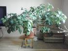 Скачать изображение  Красивое растение станет украшением для вашей квартиры и офиса 44057767 в Красноярске