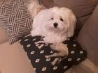 Увидеть foto Вязка собак Кобель мальтийской болонки желает познакомиться 61124552 в Красноярске