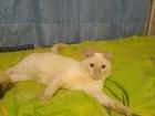 Увидеть фото Вязка кошек Ищем невесту для нашего котика! 68787237 в Красноярске