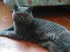 Увидеть фотографию Вязка кошек Британец, Вязка, Красноярск 69209934 в Красноярске