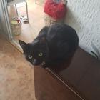 Черная кошка ищет кота для вязки