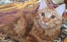 Найден кот бобтейл в Красноярске