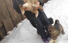 Щенки Кавказской овчарки - девочки