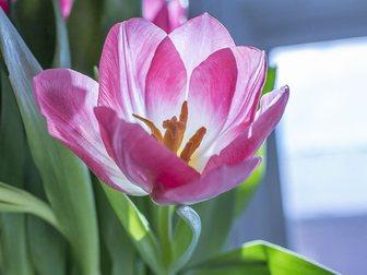 Скачать бесплатно фото Растения Тюльпаны Голландские к 8 марта 29431203 в Красноярске