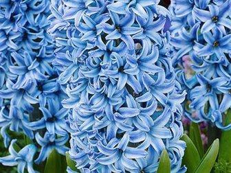 Скачать фото  Гиацинт цветок от 1 шт, 34393007 в Красноярске