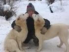 Изображение в   Продаются подрощенные щенки среднеазиатской в Краснотурьинске 20000