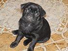 Фотография в Собаки и щенки Продажа собак, щенков Продается щенок мопса, черный, 1, 5 месяца, в Кропоткине 8000