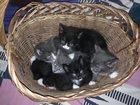 Фотография в Кошки и котята Продажа кошек и котят Маленькие котята от русской голубой кошки в Кургане 0