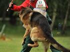 Свежее изображение  Дрессировка собак Видное Домодедово Подольск 33860337 в Видном