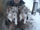 Фото в Собаки и щенки Продажа собак, щенков Продаются щенки западносибирской лайки. От в Кургане 5000