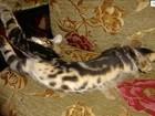 Скачать бесплатно фото  Сококи сококе Соукок sokoke элитные котята 34575901 в Москве