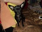 Фотография в Собаки и щенки Вязка собак девочка тойчик ищет жениха СРОЧНО в Кургане 0