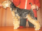 Изображение в Собаки и щенки Продажа собак, щенков Продается щенок Лейкленд терьера возраст в Кургане 30000
