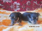 Изображение в Собаки и щенки Продажа собак, щенков Продаю щенков той-терьера, окрас черный с в Кургане 4500