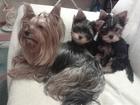 Фото в   Веселые активные щенки Йоркширского терьера. в Кургане 15000