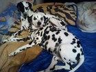 Свежее foto Вязка собак Далматин с родословной ищет невесту 38464817 в Кургане