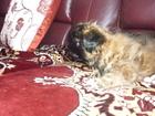 Фотография в Собаки и щенки Продажа собак, щенков Очаровательная девочка пекинес (2 месяца) в Кургане 3000