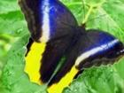 Увидеть фотографию  Живые Тропические бабочки Caligo Menom 38987675 в Краснодаре