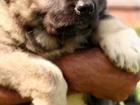 Изображение в   Предлагаем на продажу щенка кавказской овчарки в Яхроме 10000
