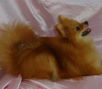 Изображение в Собаки и щенки Продажа собак, щенков Не дорого , продается девочка немецкого миниатюрного в Кургане 0