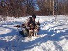 Свежее фотографию Продажа собак, щенков Отдаю даром в хорошие и заботливые руки малышей! 32379078 в Курске