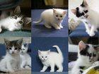 Фото в Кошки и котята Продажа кошек и котят Беленькая девочка, остальные мальчики  очень в Курске 0