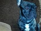 Скачать изображение Вязка собак Кобель французского бульдога ждет даму для вязки 39207650 в Лабинске