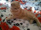 Фото в Кошки и котята Вязка Галантный кавалер редкого (кофейно-молочного)окраса в Лебедяни 0