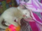 Изображение в Кошки и котята Продажа кошек и котят Натуральный блондин с голубыми глазами, ищет в Ленинск-Кузнецком 0