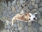 Фото в Собаки и щенки Вязка собак Кобель. Возраст один год. Окрас коричневый. в Липецке 0