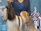 Фотография в Собаки и щенки Вязка собак Питомник Unique Style предлагает для вязок в Красноярске 20000
