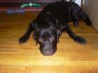 Фото в Собаки и щенки Вязка собак Предлагаю шоколадного цвета для вязки кобеля. в Липецке 0