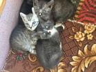 Фотография в   Отдам котят в хорошие руки. Котятам 1 месяц. в Липецке 0