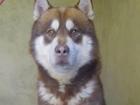 Просмотреть foto Вязка собак кобель для вязки породы маламут цвет коричневый 39992385 в Липецке