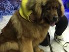 Скачать бесплатно изображение Вязка собак Тибетский мастиф ждет невесту 52046402 в Липецке