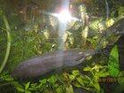 Фото в Рыбки (Аквариумистика) Аквариумные рыбки сомы каракатумы и межкожаберные в Магнитогорске 50
