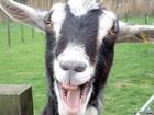 Увидеть фото Другие животные Дойные козы 36587684 в Магнитогорске