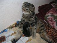 Вислоухий шотландец приглашает на вязку Шотландский вислоухий кот или скоттиш-фо